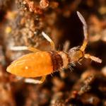 Entomobrya nigrocincta male